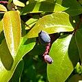 Berberis gracilis 3.jpg