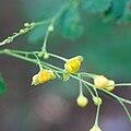 Berberis wilsoniae - Fleurs.jpg