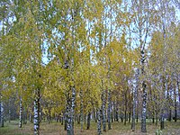 Berezne Forestry College, dendropark 5.jpg