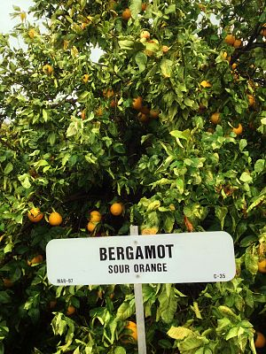 Bergamot orange - Bergamot orange tree in Maricopa County, Arizona