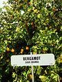 Bergamot - Sour Orange (Tree) - Waddell, Maricopa County, Arizona, USA - January 2013.jpg