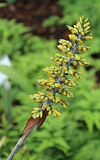 Berlin-Dahlem, botanischer Garten, Aechmea angustifolia.JPG