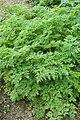 Berlin-Dahlem, botanischer Garten, Conium maculatum.JPG