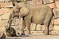Berlin Tierpark Friedrichsfelde 12-2015 img12 African elephant.jpg