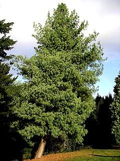<i>Pinus wallichiana</i> species of plant