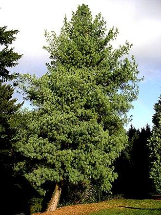 Pinus wallichiana - Tree at Tortworth Court arboretum