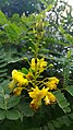 Biancaea sappan flowerBuds.jpg