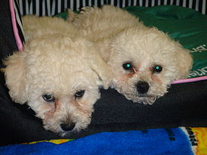 English: Bichon Puppies