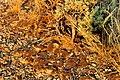 Biological soil crust at base of Wyoming big sagebrush Seedskadee NWR (14880387789).jpg