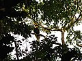 Bird Great Hornbill Buceros bicornis IMG 8659 16.jpg