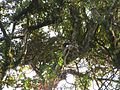 Bird Wreathed hornbill Rhyticeros undulatus IMG 7837 03.jpg