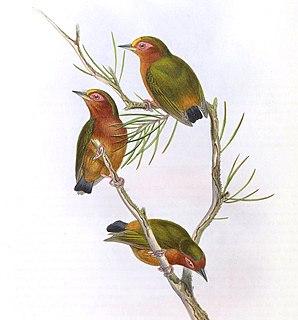 <i>Sasia</i> genus of birds