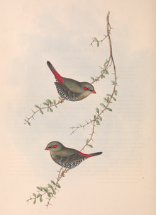 Birds of Australia Gould vol 3 plate 79.png