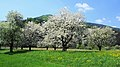 Blühende Apfelbäume.jpg