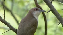 File:Black-billed cuckoo (Coccyzus erythropthalmus).webm