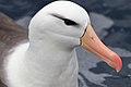 Black-browed Albatross (25977181956).jpg