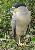 Black-crowned Night Heron (Nycticorax nycticorax) (28458857006).jpg