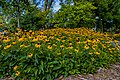 Black-eyed susan flowers (40862433922).jpg