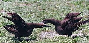 Black-footed albatross - Image: Black footed Albatross are dancing