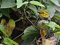 Black-throated Green Warbler (WORKS) (32633795535).jpg