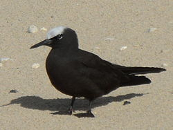 Black Noddy Anous minutus North Beach LordHoweIsland 6June2011.jpg