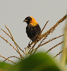 Black bishop bigodi dec05.jpg