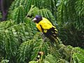 Black hooded Oriole- after bath in the rain Id IMG 0682.jpg