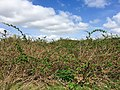 Blackberry shrubland in the Klompenwaard.jpg