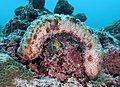 Blackspotted sea cucumber Bohadschia graeffei VP.jpg