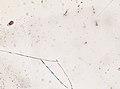 Blatta orientalis (YPM IZ 098942).jpeg
