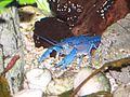 Blauer Floridakrebs B001.jpg