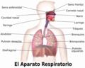 Blausen 0770 RespiratorySystem 02-es.png