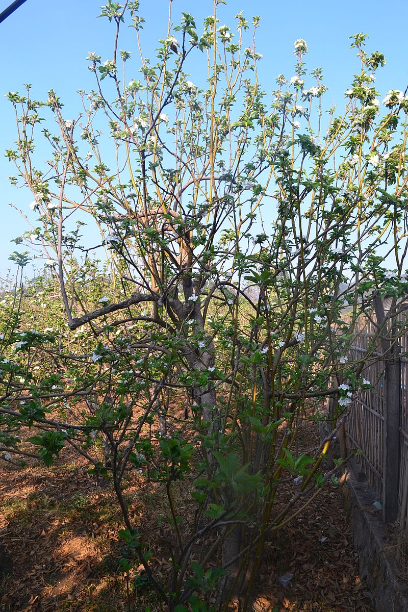 Blooming apple tree.jpg