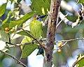 Blue-eared Barbet (Psilopogon duvaucelii cyanoticus).jpg