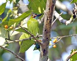 Blue-eared Barbet (Psilopogon duvaucelii cyanoticus)