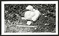 Blue-faced Booby -38, 42 days old, Kure Atoll (undated). (9395427652).jpg