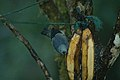 Blue-gray Tanager 2015-06-06 (4) (39419615435).jpg