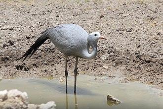 Blue crane - Blue crane seen in Etosha, Namibia
