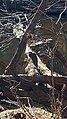Blue Heron Ayr Mount Hillsborough NC 123525 (31630260350).jpg