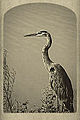 Blue Heron Old Postcard (12156943886).jpg