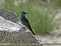 Blue Rock Thrush (Monticola solitarius) (29833482610).jpg