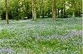 Bluebells in Crabfold Copse - geograph.org.uk - 66630.jpg