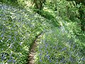 Bluebells near Bulwell Bay - geograph.org.uk - 1312141.jpg