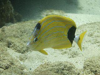 Bluestripe butterflyfish species of fish