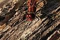 Blutrote Heidelibelle Sympetrum sanguineum male 7762.jpg
