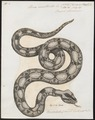 Boa constrictor - 1700-1880 - Print - Iconographia Zoologica - Special Collections University of Amsterdam - UBA01 IZ11900029.tif