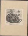 Boa constrictor - 1700-1880 - Print - Iconographia Zoologica - Special Collections University of Amsterdam - UBA01 IZ11900057.tif
