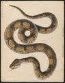 Boa constrictor - 1700-1880 - Print - Iconographia Zoologica - Special Collections University of Amsterdam - UBA01 IZ11900061.tif