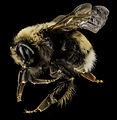 Bombus occidentalis, F, Side, Utah Co., Utah 2014-01-10-15.27.00 ZS PMax (12250805893).jpg