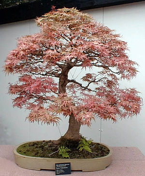 "Bonsai ""Roter Fächerahorn"", picture ..."